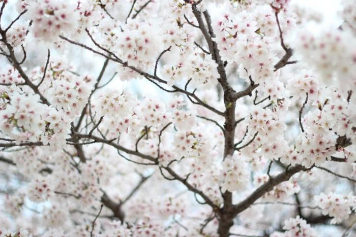 満開の桜のアップ写真5