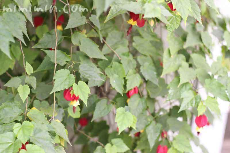 ウキツリボクの花の画像
