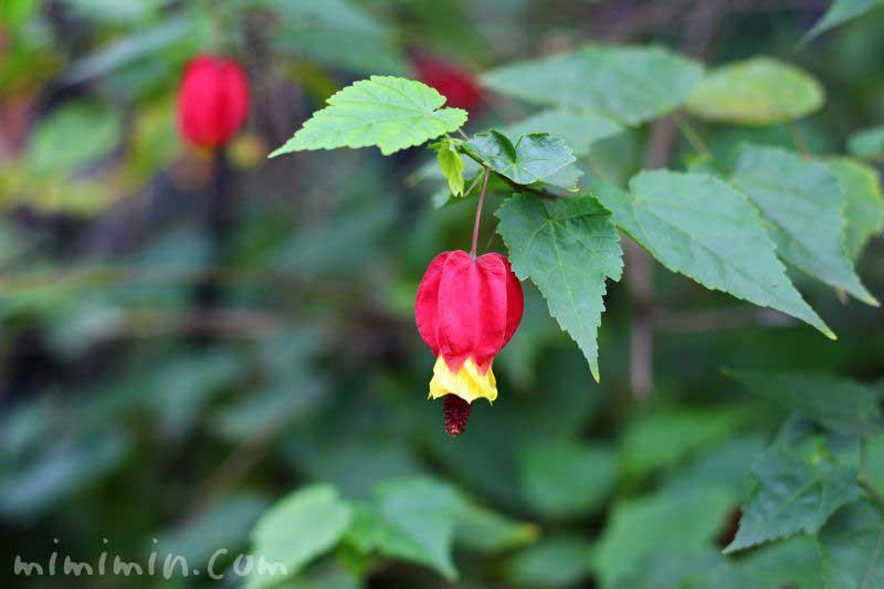 ウキツリボクの花・チロリアンランプの画像