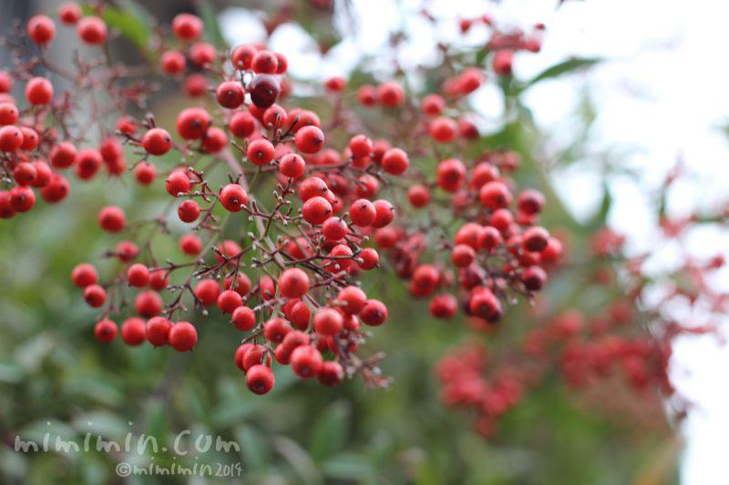 南天の赤い実の写真2