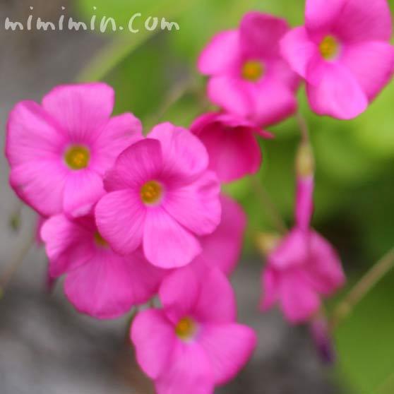 ハナカタバミ(ピンク)の写真