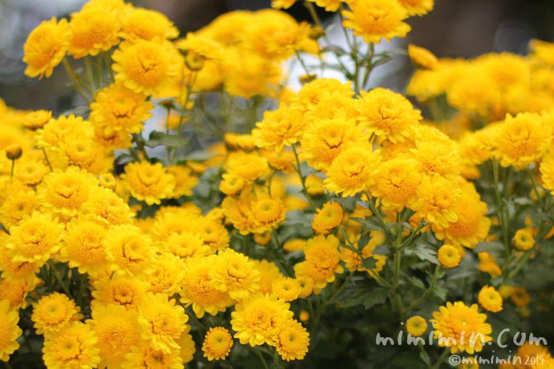 黄色のスプレー菊(スプレーマム)