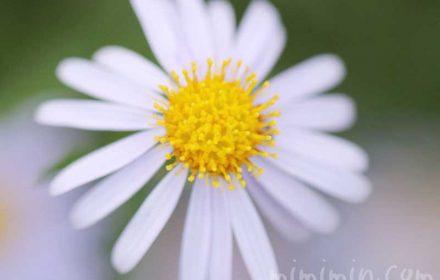 ヒメジョオンの花の写真と花言葉