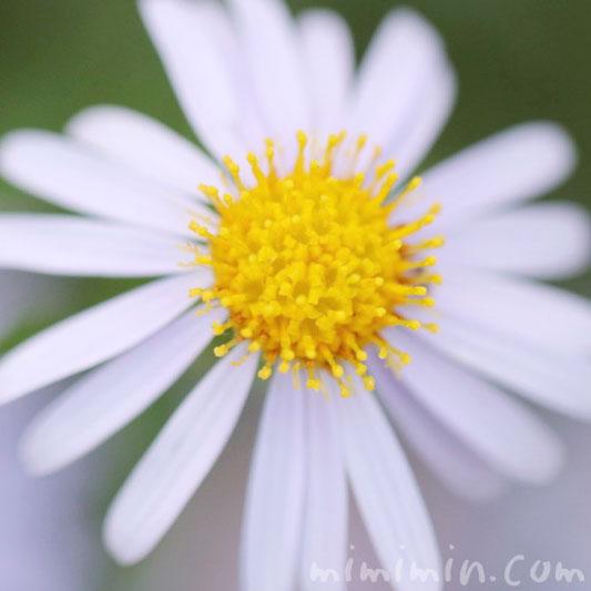 ヒメジョオンの花の写真&花言葉の画像