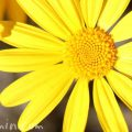 ユリオプスデージーの花言葉の画像