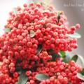 ピラカンサの赤い実の写真