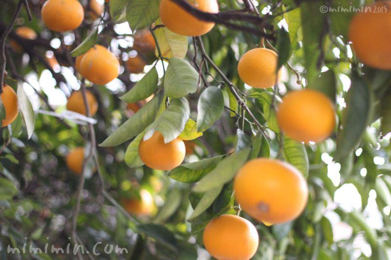 柑橘系の実の写真
