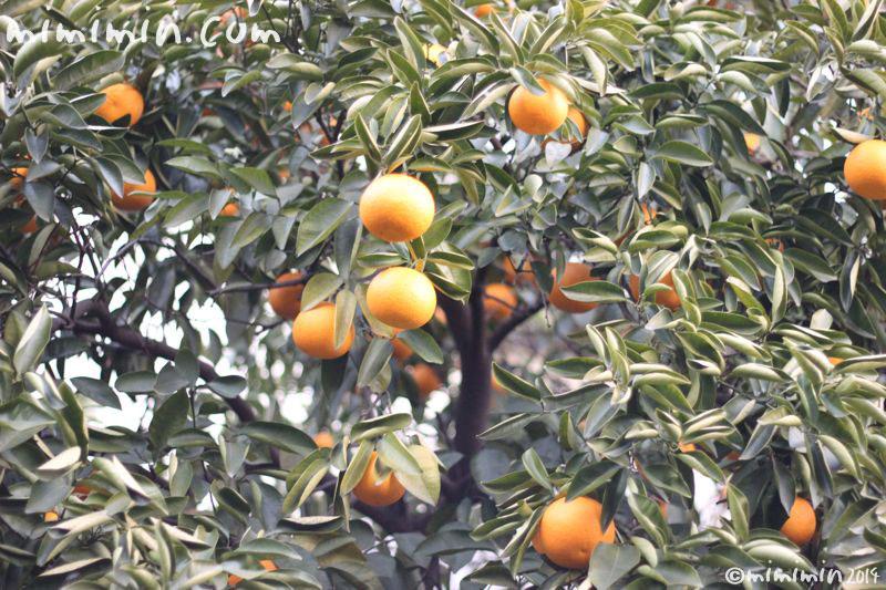柑橘系の実の写真2