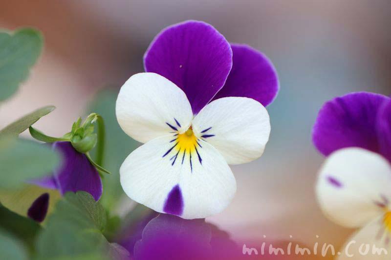 パンジーの花