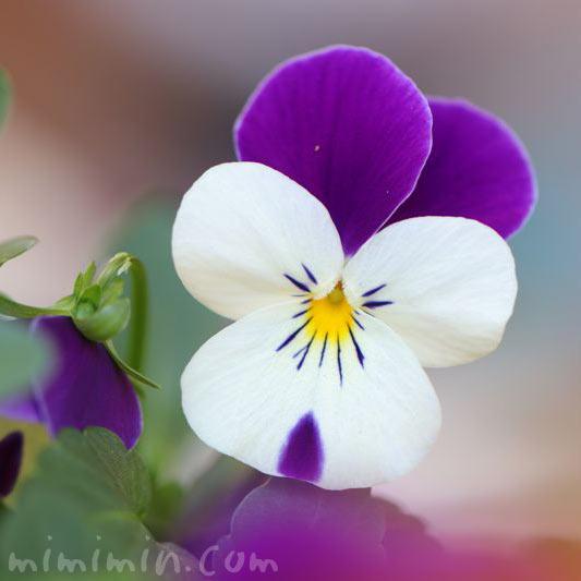 パンジーの花 紫×白の写真