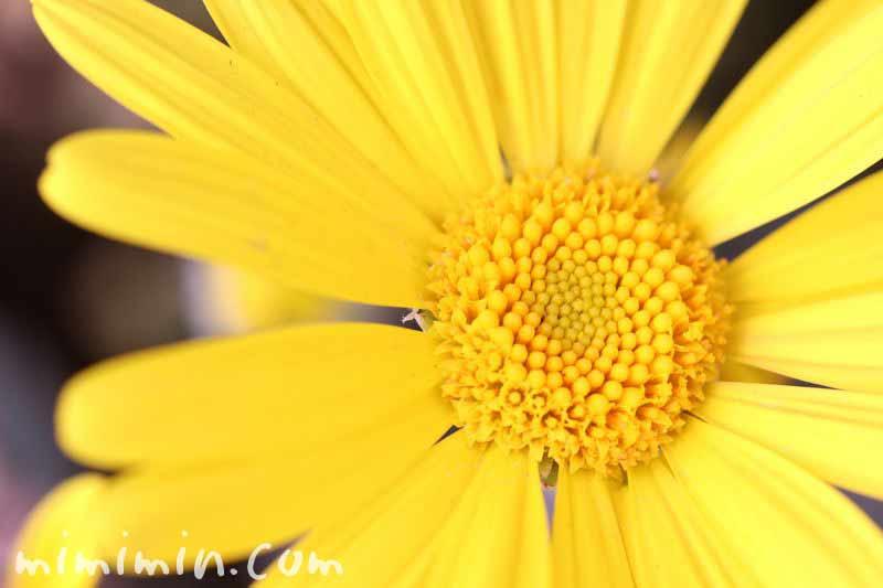 ユリオプスデージーの誕生花の画像