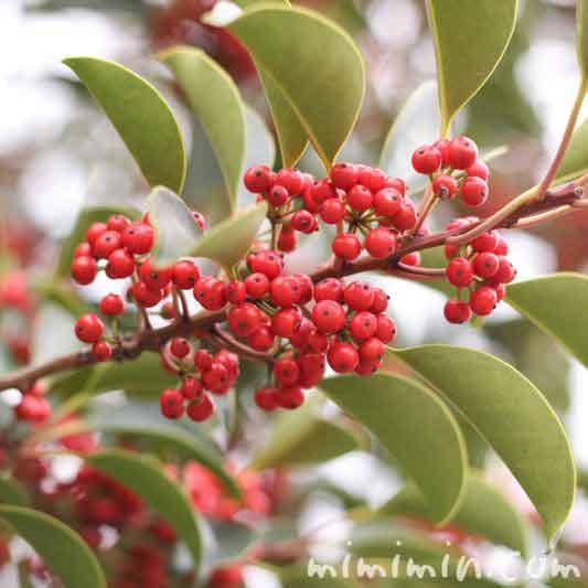 クロガネモチの赤い実の画像