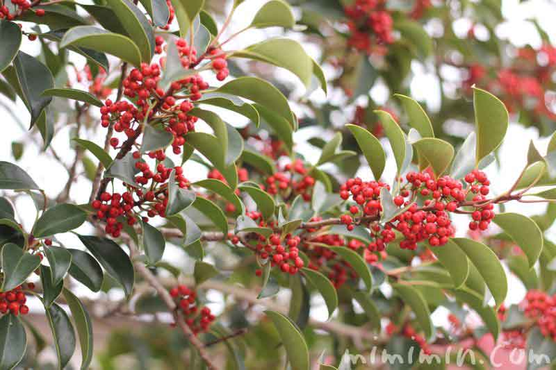 赤い実(クロガネモチ)の写真