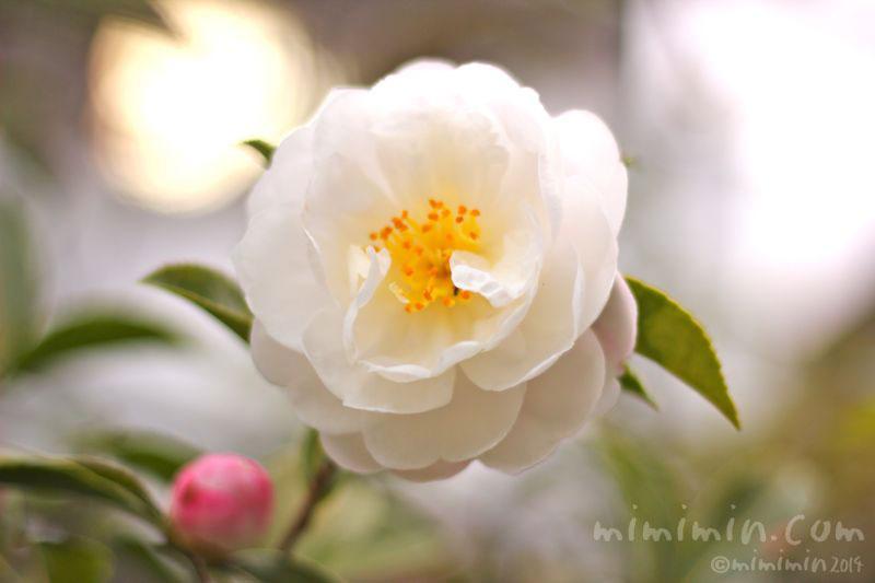 白の山茶花の写真2
