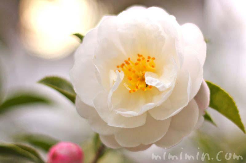 山茶花(朝倉)の画像