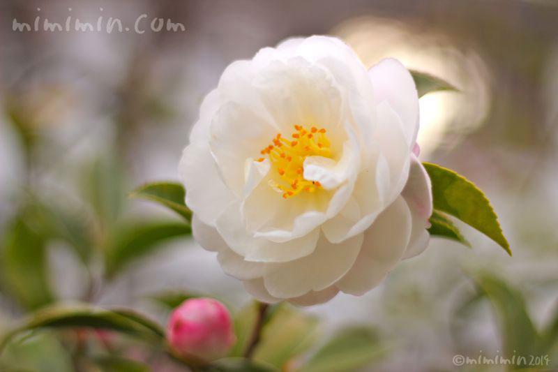 白の山茶花の写真