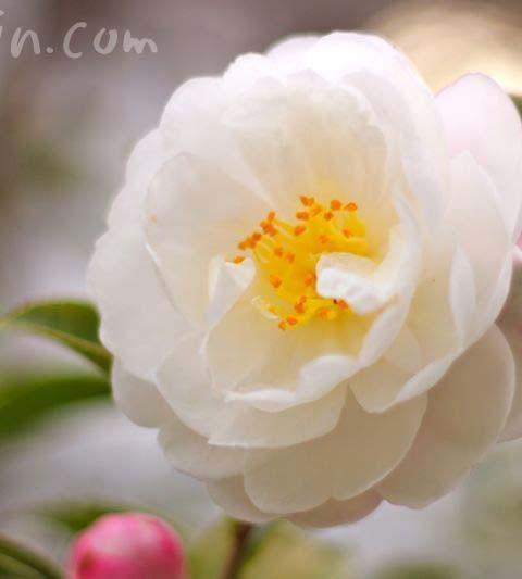 白の八重咲きのサザンカ・アサクラ(花の写真&花言葉)