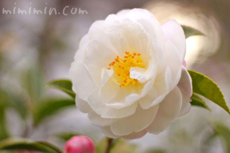 サザンカの花の写真(朝倉・アサクラ)