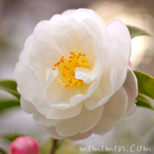 山茶花の花の写真(朝倉)