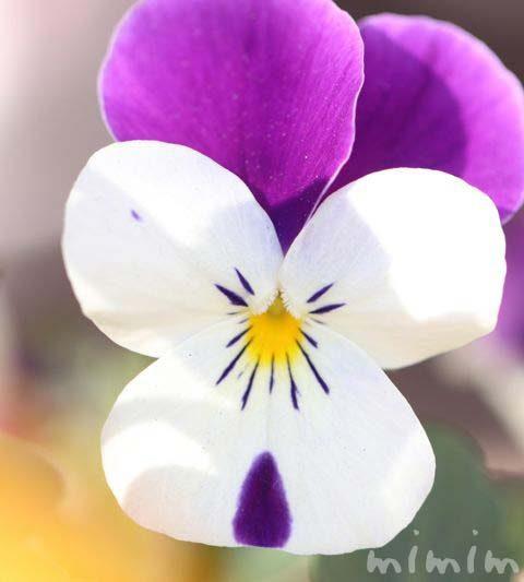 パンジー(紫×白)|花の写真・花言葉