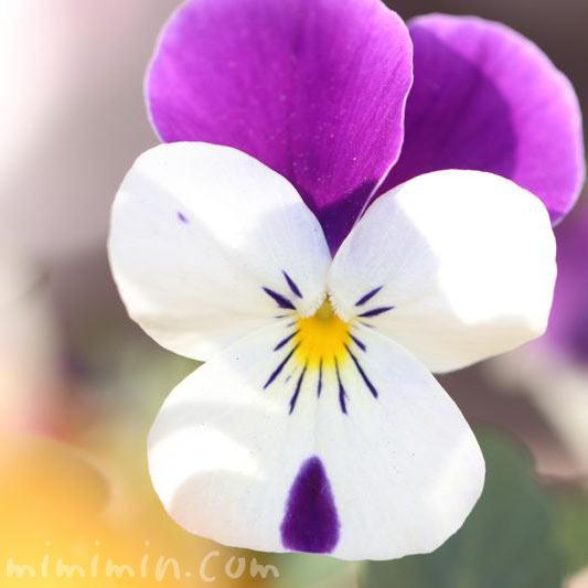 パンジー 紫×白の画像