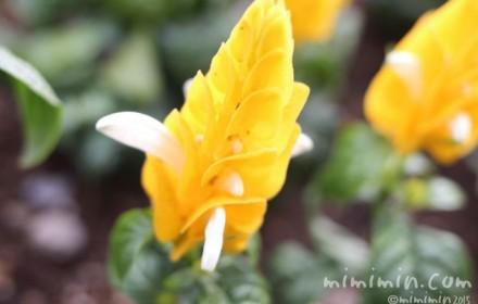 パキスタキス(黄色)の画像