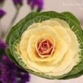 葉牡丹の写真