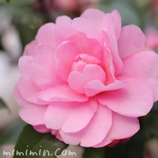 ピンク色のサザンカ(乙女山茶花)の画像