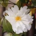 白の山茶花(サザンカ)の写真