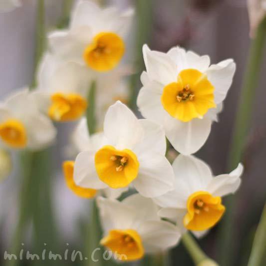 水仙の花の画像