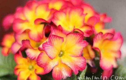 プリムラジュリアン・黄色×赤の画像