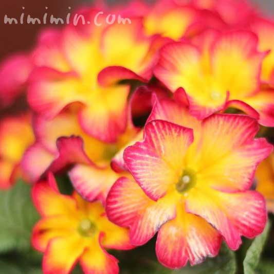 プリムラジュリアンの花の写真・黄色×赤
