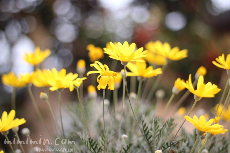 黄色のユリオプスデージーの写真3