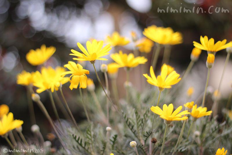 黄色のユリオプスデージーの写真4