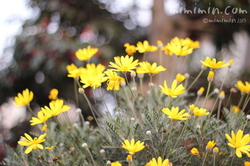 黄色のユリオプスデージーの写真2
