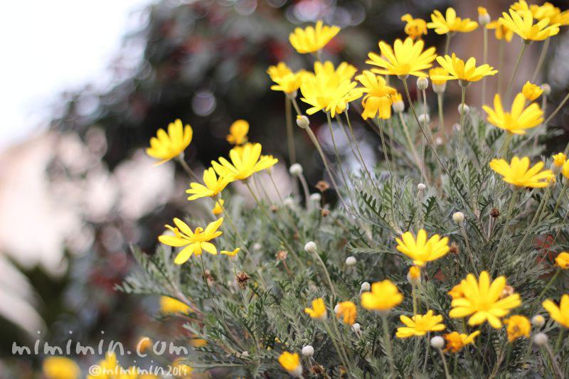 黄色のユリオプスデージーの写真