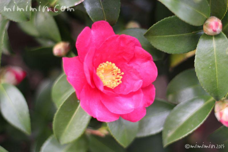 山茶花の濃いピンクの写真2