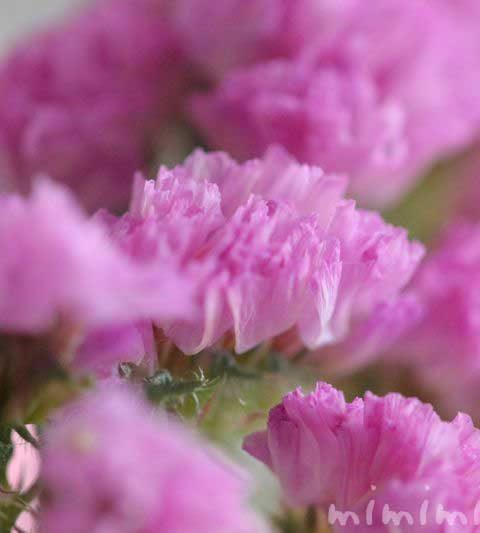 スターチスの花の写真・スターチスの花言葉