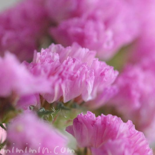ピンクのスターチスの画像