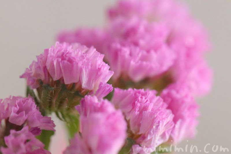 スターチスの花・ピンクの写真
