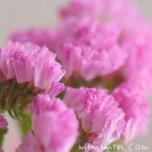 スターチスの花の写真