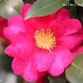 山茶花の濃いピンクの写真