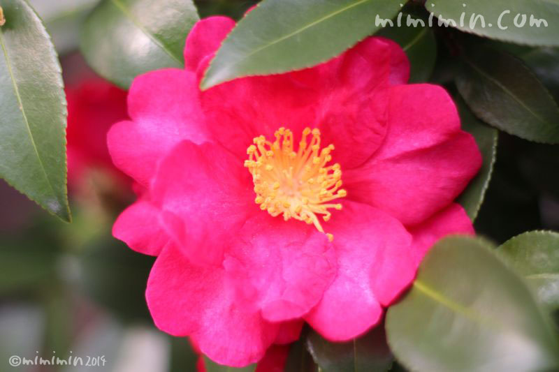 山茶花の濃いピンクの写真-4-1-17