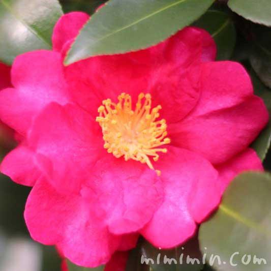 サザンカ(濃ピンク)の画像