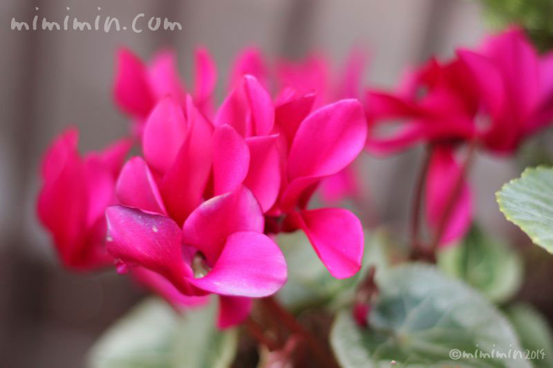濃いピンクのシクラメンの写真