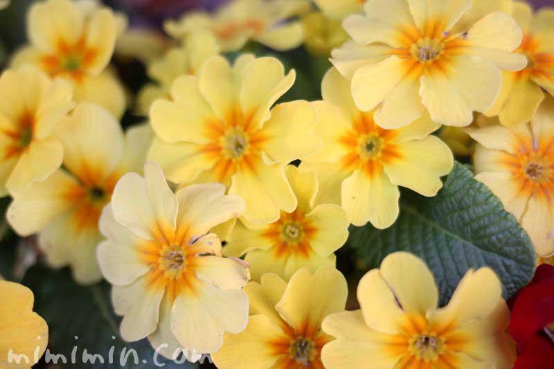 プリムラ・黄色の画像