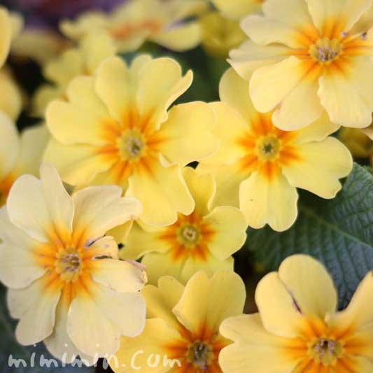 プリムラの花の写真・黄色