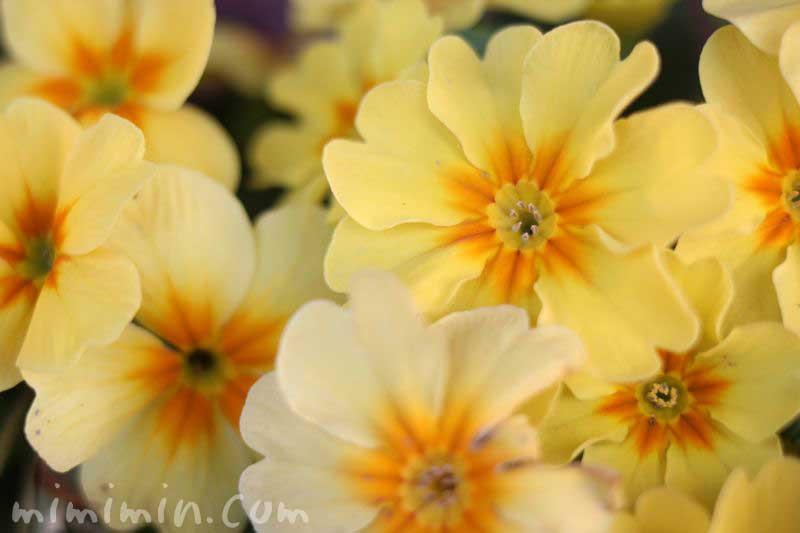 黄色のプリムラの画像