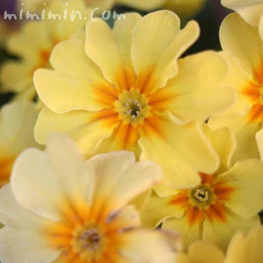 黄色のプリムラの花の写真