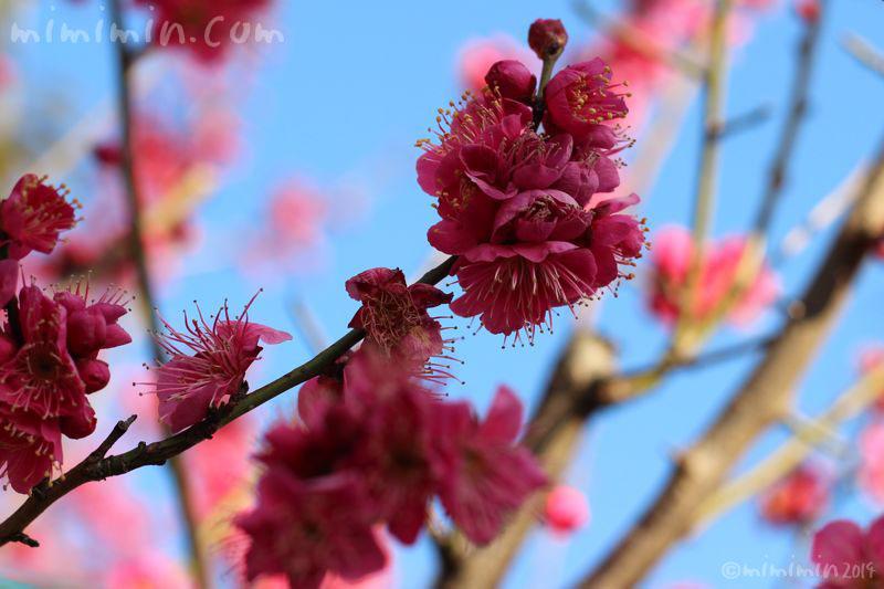 ピンクの梅の花の写真2